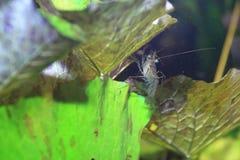 Macrobrachium dayanum shrimp Stock Image