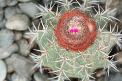 Macrocanthos del Melocactus (S-R-D ) Fotos de archivo libres de regalías