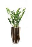 Macrocarpa conservato in vaso di pachira Fotografia Stock Libera da Diritti