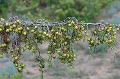 Macrocarpa del juniperus, il ginepro Gran-fruttificato Fotografie Stock