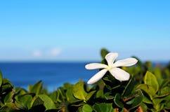 Macrocarpa do Carissa, ameixa natal foto de stock