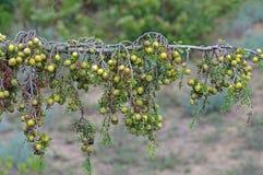 Macrocarpa do juniperus, o zimbro Grande-frutificado, uma planta que canta nas dunas de areia Fotografia de Stock Royalty Free