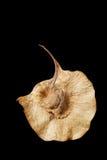 Macrocarpus Kurz do Pterocarpus Fotos de Stock