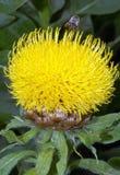 Macrocephala del Centaurea Imagen de archivo libre de regalías