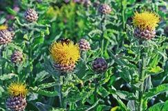 Macrocephala gigante giallo di ?entaurea del fiordaliso con un'ape che raccoglie polline fotografie stock