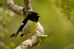 Macrocephala macrocephala Petroica - νότιο νησί Tomtit - miromiro ενδημική συνεδρίαση πουλιών της Νέας Ζηλανδίας δασική στον κλάδ στοκ φωτογραφία με δικαίωμα ελεύθερης χρήσης