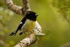 Macrocephala macrocephala Petroica - южный остров Tomtit - птица леса Новой Зеландии miromiro эндемичная сидя на ветви в f стоковые изображения