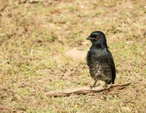 Macrocercus preto de Dicrurus do Drongo manchado no parque nacional de Pench, Índia fotos de stock royalty free
