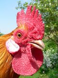 Macrochicken. Too close to a chicken royalty free stock photo
