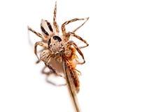 Macroclose-up Spinnen erfassten Insekte Stockfoto