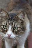 Macroclose-up van het gezicht van longhair gestreepte katkat Royalty-vrije Stock Foto's