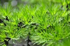 macrocosm лиственница Зеленая свежесть Стоковые Фотографии RF