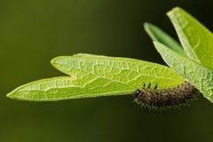macrocosm Предпосылка, концепция и идея Гусеница ест зеленую листву жизнь новая Стоковые Изображения RF