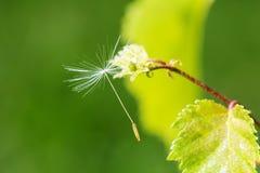 macrocosm Предпосылка, концепция и идея Смертная казнь через повешение семени одуванчика на ветви жизнь новая Стоковая Фотография