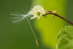 macrocosm Предпосылка, концепция и идея Смертная казнь через повешение семени одуванчика на ветви жизнь новая Стоковое Изображение