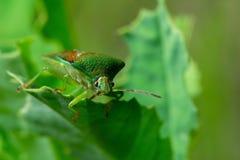 macrocosm Große Fliege und große grüne Wanze Wilde Natur Insekte und Blumen stockfotografie