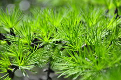 Macrocosm. Larch. Green freshness. Forest in summer Royalty Free Stock Photos