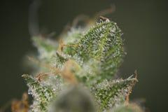 Macrodetail van de marihuanaspanning van de cannabisknop mangolope met v Stock Afbeeldingen
