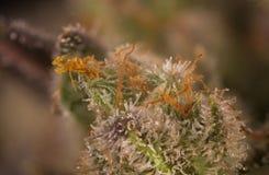 Macrodetail van de marihuanaspanning van de cannabisknop mangolope met v Stock Foto's