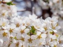 Macrodetail van de witte bloemen van de kersenbloesem, Kyoto, Japan stock fotografie