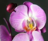Macrodiebeeld van orchidee, met een kleine diepte van gebied wordt gevangen Royalty-vrije Stock Foto