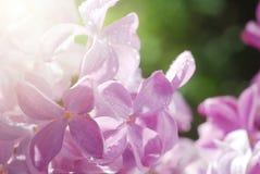 Macrodieschot van lilac bloemen door dauwdruppels worden behandeld Goed voor uitnodiging en groetkaartontwerp Royalty-vrije Stock Afbeeldingen