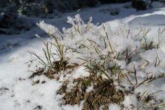 Macrodiestruik met sneeuwhoogte wordt behandeld in de bergen Stock Afbeeldingen