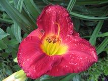 Macrofilming растущего цветка Hemerocallis лилии дня стоковая фотография rf