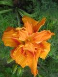 Macrofilming der wachsenden Blume eines Taglilie Hemerocallis Stockbild