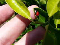 Macrofolhas van lieveheersbeestjejoaninha gaat groen weg Royalty-vrije Stock Foto's