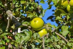 Macrofoto met decoratieve achtergrond van mooie jonge vruchten op de tak van Apple-boominstallatie in tuinbouw en landbouw royalty-vrije stock foto's