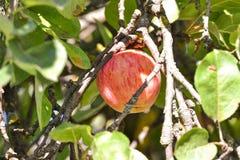 Macrofoto met decoratieve achtergrond van mooie jonge vruchten op de tak van Apple-boominstallatie in tuinbouw en landbouw stock afbeeldingen