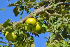 Macrofoto met decoratieve achtergrond van mooie jonge vruchten op de tak van Apple-boominstallatie in tuinbouw en landbouw stock fotografie