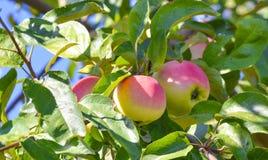 Macrofoto met decoratieve achtergrond van mooie jonge vruchten op de tak van Apple-boominstallatie in tuinbouw en landbouw royalty-vrije stock afbeeldingen