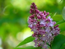 Macrofoto met mooie decoratieve tak van Lilac bloemen met witte bloemblaadjes Royalty-vrije Stock Foto's
