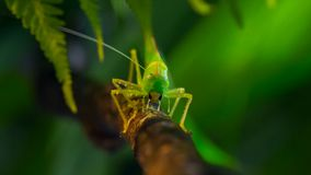 Macrofoto van de grote groene Bush-veenmol royalty-vrije stock foto
