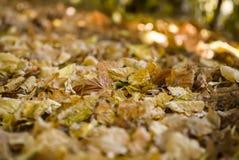 Macrofoto van de herfst gele bladeren van zonnig stock fotografie
