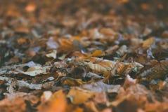 Macrofoto van de herfst gele bladeren van zonnig Royalty-vrije Stock Afbeeldingen