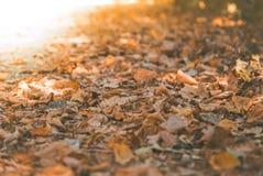Macrofoto van de herfst gele bladeren van zonnig Royalty-vrije Stock Fotografie