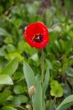 Macrofoto van de rode tulp royalty-vrije stock afbeelding