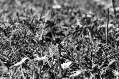 Macrofoto van een bij die een kleine witte en gele bloem bestuiven Stock Afbeelding
