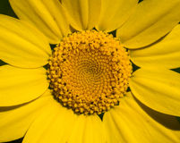 Macrofoto van geel madeliefje Royalty-vrije Stock Foto