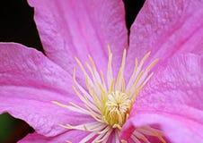 Macrofoto van gele en witte stamens met roze bloemblaadjes Royalty-vrije Stock Afbeeldingen