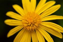 Macrofoto van gele zonnebloem stock afbeeldingen