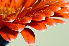 Macrofoto van gerberabloem met waterdaling Royalty-vrije Stock Foto's