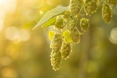 Macrofoto van groene hop Stock Afbeeldingen