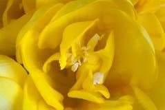 Macrofoto van het bloeien gele fresia stock foto's
