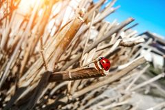 Macrofoto van Lieveheersbeestje in het groene blad Sluit omhoog lieveheersbeestje in blad De sc?ne van de de lenteaard royalty-vrije stock afbeelding