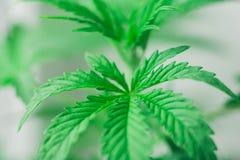 Macrofoto van mooie bladeren en schouderriemen van een jonge cannabisinstallatie, marihuana tijdens de vegetatieperiode Royalty-vrije Stock Foto's