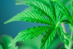 Macrofoto van mooie bladeren en schouderriemen van een jonge cannabisinstallatie, marihuana tijdens de vegetatieperiode Stock Foto